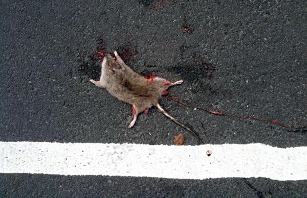 Ein Handy für 60 gefangene Ratten